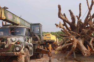 3 cây đa 'khủng' sắp rời Huế, ra Hà Nội