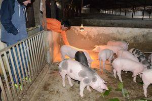 Thịt lợn được cung ứng bởi các nông hộ có thể đảm bảo an toàn thực phẩm
