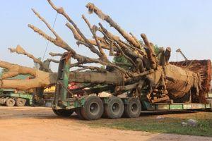 3 cây đa khổng lồ chuẩn bị rời Huế sau nửa tháng 'giam giữ'