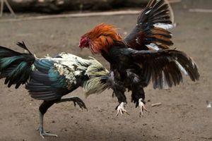 Bị khởi tố vì khoe thành tích đá gà ăn tiền trên mạng