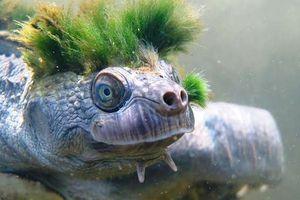 Sự thật đau lòng về chú rùa 'tóc xanh' đang nổi tiếng trên các mặt báo