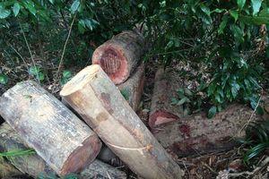 Làm rõ việc vận chuyển gần 85 m3 gỗ không có trong hồ sơ