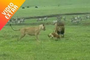 Những loài vật nhỏ bé dám 'đối đầu' kẻ thù khổng lồ