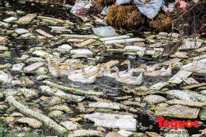 Hà Nội: Kinh hoàng vịt ăn rác, bơi trên nước thải trong công trường xây dựng cầu Đền Lừ, Hoàng Mai