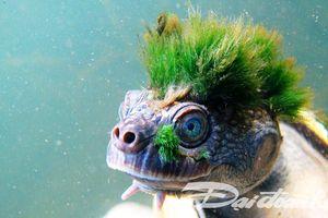 Kỳ lạ con rùa 'tóc xanh'