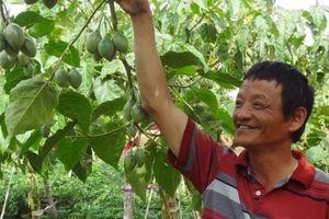 Phát 'sốt': Trồng cà chua thân gỗ, giá 150.000kg không có mà bán