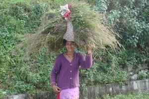 Nông nghiệp biến đổi gene thất thế trước canh tác hữu cơ ở Ấn Độ