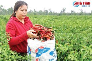 Trồng ớt liên kết không thành, nông dân Hà Tĩnh 'nếm dư vị… cay'