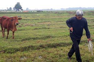 Người dân chăn thả trâu, bò ngoài đồng phải đóng phí 100.000 đồng/con