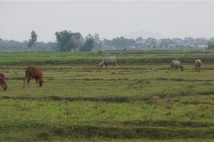 Gặm cỏ phải đóng phí, chia buồn với trâu bò...