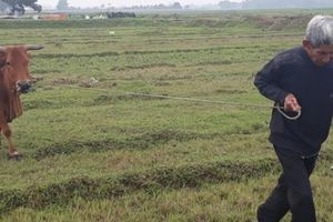 Chăn thả trâu bò phải đóng phí: Lãnh đạo xã 'đổ hết tội' cho HTX