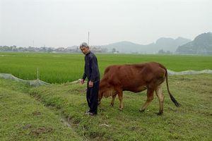 Nếu sai xử lý nghiêm vụ chăn thả trâu bò phải đóng phí