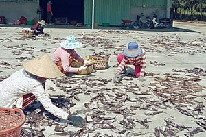 Ngư dân 'hái' tiền tỷ từ chuyến câu mực khơi đầu năm