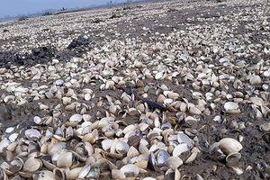 Hộ dân điêu đứng khi gần 100 tấn ngao chết trắng đồng