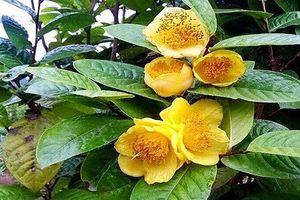Loài trà 'thần dược' bị săn tìm như báu vật, giá đắt đỏ 2 triệu/kg