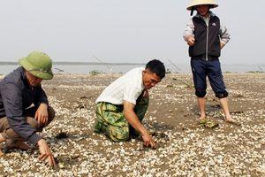Dân điêu đứng vì hơn 90 tấn ngao há mồm chết bất thường