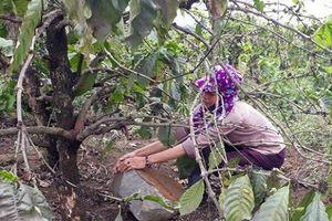 Gia Lai: Hàng ngàn cây cà phê chết yểu vì mỏ đá