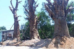 Huế: Chủ nhân trồng tạm 3 cây gỗ 'khủng', chính quyền nói chưa biết
