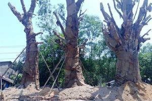 3 cây đa 'khủng' được trồng tạm ở Huế