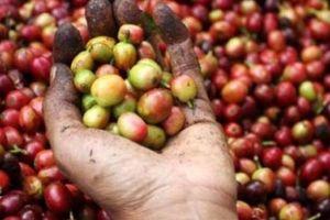 Giá nông sản hôm nay 23/4: Giá cà phê vẫn giảm loanh quanh, giá tiêu nhiều hy vọng khởi sắc