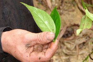 Điện Biên: 4 học sinh rủ nhau lên rừng ăn thử lá ngón, 2 em tử vong