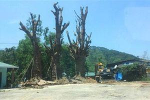 Tranh cãi trồng 3 cây quái thú phải xin phép chính quyền