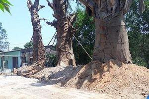 3 cây khủng như 'quái thú' vẫn ở Huế vì chưa có giấy phép hợp lệ