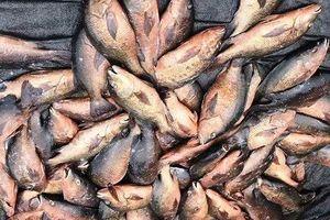 Tìm nguyên nhân hàng trăm kg cá, mực ở Vũng Áng chết