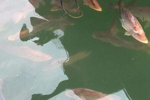 Cá nuôi bè chết bất thường ở Vũng Áng: Nín thở chờ nguyên nhân
