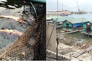 Cá, mực ở bè nổi cảng Vũng Áng chết trắng bất thường