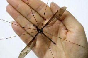 TQ: Tìm thấy con muỗi to nhất thế giới, gấp 10 lần muỗi thường