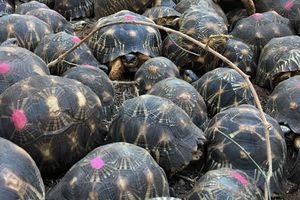 Kinh ngạc phát hiện 10.000 con rùa bức xạ ngổn ngang trong nhà dân