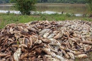 Cá chết trắng thiệt hại nhiều tỷ đồng nghi trúng độc