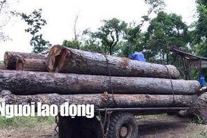 'Kiểm lâm kiểm tra thường xuyên' nhưng không thấy gỗ lậu của trùm Phượng 'râu'!?