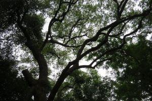 Ngỡ ngàng cây Dã hương nghìn năm tuổi, 'báu vật' rừng Yên Thế