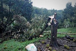 Lốc xoáy lại quật ngã cả ngàn cây sầu riêng tại Đạ Huoai