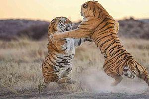Những khoảnh khắc động vật hoang dã kịch chiến đồng loại gây ám ảnh