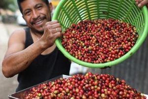 Giá nông sản hôm nay 2/5: Giá cà phê đã tăng lên 38.000 đồng/kg, giá tiêu tiếp tục giảm