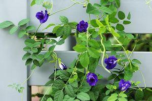 Cây đậu biếc mà chị em đua nhau lấy hoa làm trân châu trồng rất dễ, tội gì không trồng