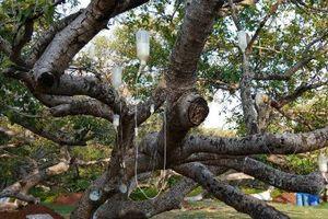 Kỳ lạ cây đa 700 tuổi được truyền dịch như người tại Ấn Độ