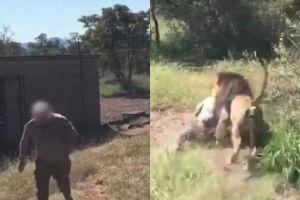Rớt tim với khoảnh khắc sư tử tấn công chủ vườn thú