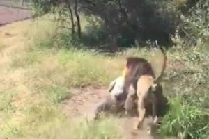 Ông cụ 67 tuổi may mắn sống sót sau khi bị sư tử tấn công