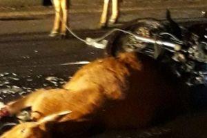 Quảng Trị: Tiền bán 2 con bò gây TNGT bị 'mắc kẹt'