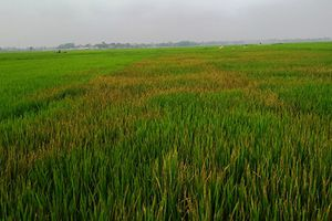 Nghi người tình lấy ví, lão nông phun thuốc diệt cỏ vào ruộng lúa để trả đũa