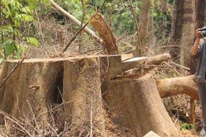 Phá rừng ở Quảng Nam: Cách chức Hạt trưởng Kiểm lâm rừng phòng hộ