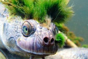 Rùa 'tóc xanh' thở bằng cơ quan sinh dục sẽ biến mất?