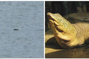 'Săn hình' rùa Hoàn Kiếm ở hồ Xuân Khanh