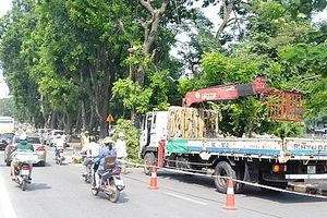 Hà Nội dịch chuyển gần 200 cây xanh phục vụ thi công đường sắt Nhổn - Ga Hà Nội