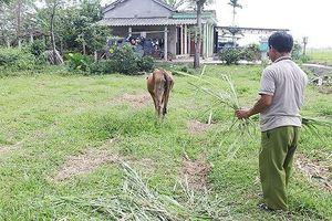 Bán 'bò giống chính sách' cho lò mổ, nhiều cán bộ chủ chốt bị kỷ luật