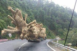 Làm rõ trách nhiệm liên quan đến chở cây xanh quá khổ, quá tải